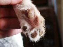 Foto van gevolgen van overgevoeligheid bij hond
